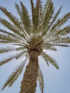 Photo of a palm tree